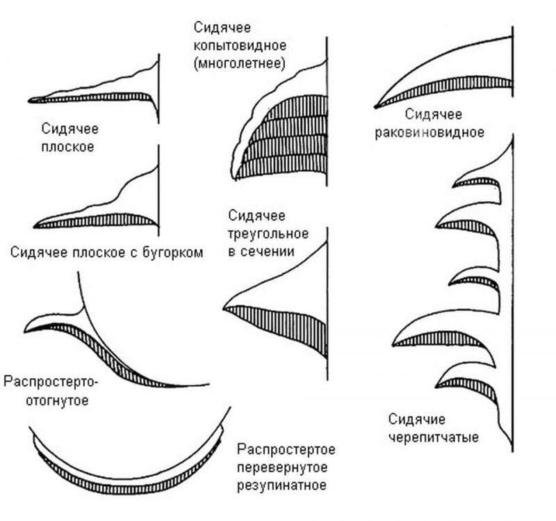9а. Типы плодовых тел трутовых грибов без ножки