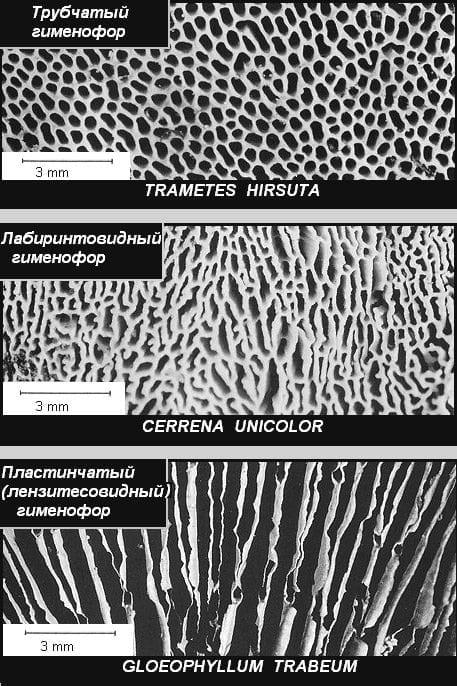 9б. Типы гименофоров